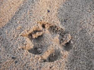 Dingo print in sand